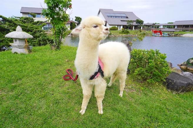 「綠舞國際觀光飯店」迎接開幕3周年,在飯店園區內飼養呆萌系動物,為園內增添活潑氣氛及吸睛度。(何書青攝)