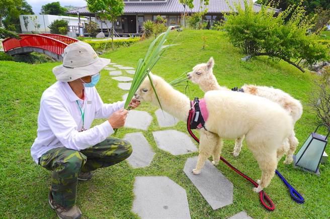 羊駝「可可」與「露露」每日2個時段將在園內散步,遊客還能體驗餵食之趣。(何書青攝)