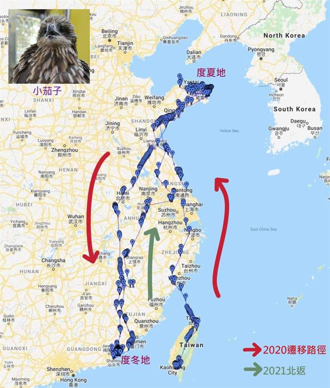 屏科大鳥類生態研究室去年透過衛星追蹤器,追蹤黑鳶「小茄子」的遷徙路線,紀錄了東亞第一筆黑鳶候鳥的遷徙資料。(屏科大鳥類生態研究室提供/潘建志屏東傳真)