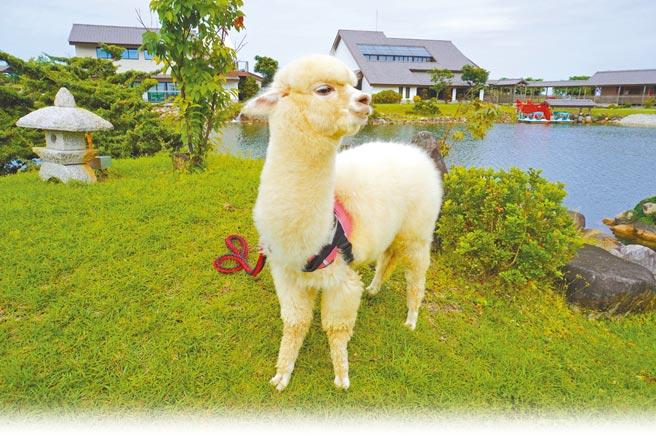 綠舞國際觀光飯店是全台唯一擁有日式庭園主題園區的飯店,在園內不僅可踩船遊湖、穿日式浴衣散步,近期更迎來2隻呆萌系羊駝。(何書青攝)