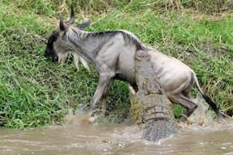 牛羚尾巴被巨鱷猛扯險拖下水 下秒求生欲爆發死裡逃生