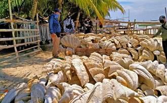 影》總價7億 盜獵者新歡 菲國查扣巨無霸蚌殼堆滿沙灘