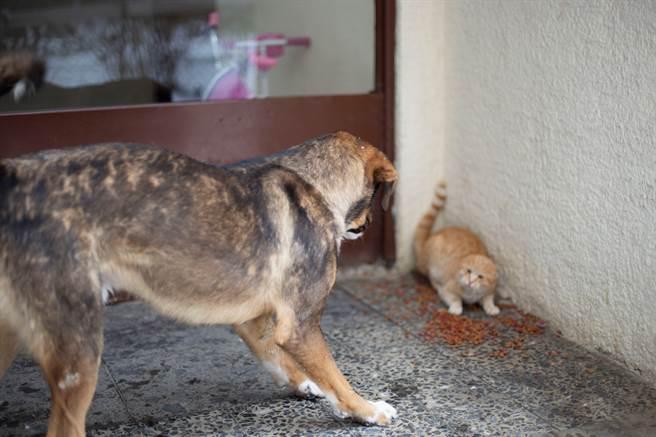 土耳其一隻流浪小貓被3隻大狗圍攻,貓媽媽見狀立刻衝上前保護孩子。(示意圖/達志影像)