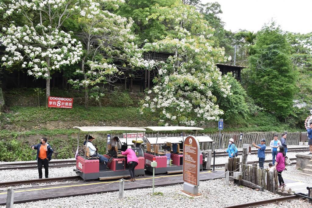 鐵道自行車沿線也開滿許多桐花。(謝明俊攝)