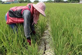 乾旱未紓解 白河稻田龜裂 農民心血泡湯