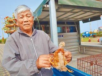 嘉縣驚見四腳雞 存活逾1個月