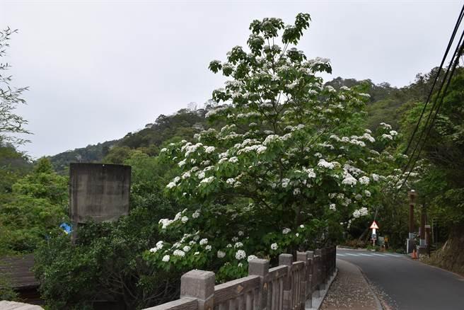三義勝興車站周邊許多桐花已經盛開。(謝明俊攝)