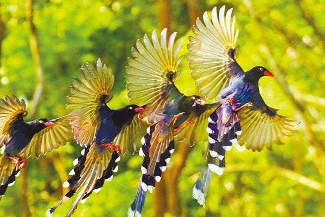 長尾山娘仔,學名台灣藍鵲,係台灣特有種。(摘自《千翼》詩集)