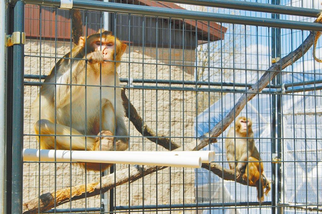美國威斯康辛州一間動物庇護所內收容的兩隻恆河猴(普通獼猴)。世界各國正卯足全力開發新冠疫苗,需要大量獼猴進行相關實驗,導致獼猴全球大缺貨。(美聯社)