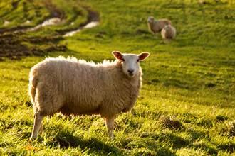 綿羊卡水溝被暖弟救援 脫困後狂奔下秒又悲劇