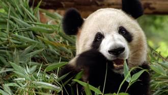 野生熊貓雪地挖一半突倒地  鏡頭拉近萬人笑翻