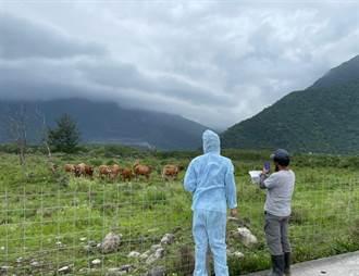 花蓮未發現牛結節疹疫情 4千餘頭牛隻等待疫苗施打