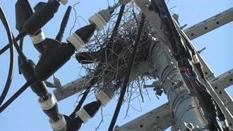 你築巢我摘除 日本電力公司與烏鴉的鳥巢大戰