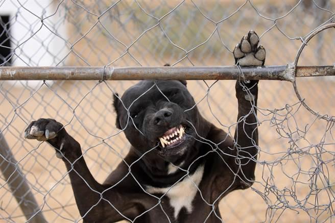 泰國一名男性和寵物比特犬親密同睡竟遭活活咬死。(示意圖/Shutterstock)