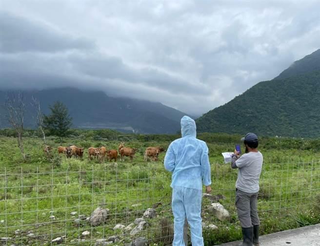 台灣首度爆發牛結節疹疫情,花蓮不敢輕忽,除做好防疫措施並展開牛隻健康訪視。(花蓮縣府提供/王志偉花蓮傳真)