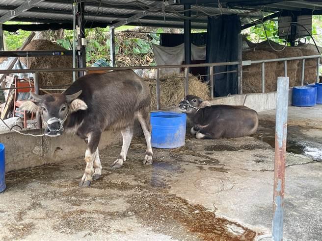 花蓮縣府連續多天訪查縣內94場共4619頭牛隻健康狀況,牛隻健康無異狀。(花蓮縣府提供/王志偉花蓮傳真)