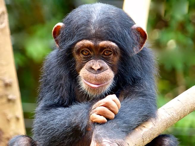 哈利王子新職縮寫「CHIMPO」 ,與黑猩猩chimpanzees,讀音類似。(圖/animals wiki)