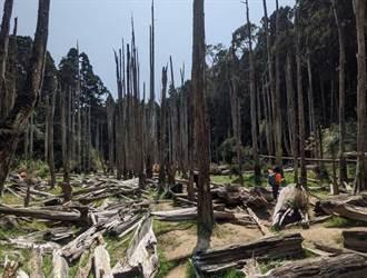 忘憂森林乾成「草原森林」 遊客不減反增:滄桑的美感
