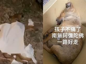 3幼犬遭轎車高速撞飛 1慘死2命危躺路中車主肇逃