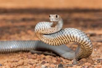 劇毒蛇慘被螞蟻攻擊佔下風 地上狂滾眾人難以置信