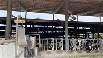 防堵牛結節疹疫情 中市養牛場加強消毒清潔