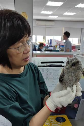 都市貓頭鷹領角鴞繁殖季 竹市呼籲遇幼鳥不捕捉、先觀察