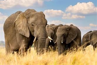 獵殺不成 盜獵者慘被象群活活踩死