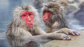 世界上最長壽獼猴現況曝光 換算人類年齡竟已120歲