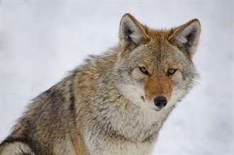 野狼脖子套攝影機 第一視角曝野外漁獵日常