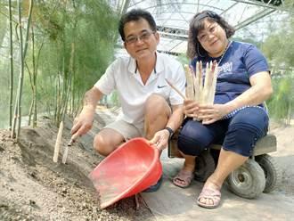 退休夫妻研發苦種1年 培育出生食等級紫玉白蘆筍