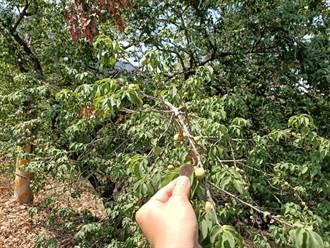 3月乾旱農損 高雄青梅、茶樹現金救助即日受理
