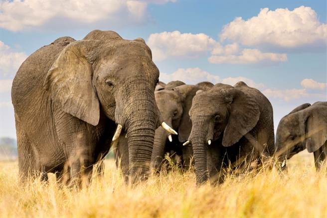 南非一名盜獵者日前闖進國家公園欲獵殺犀牛,卻誤闖象群,最終被活活踩死。(示意圖/shutterstock)