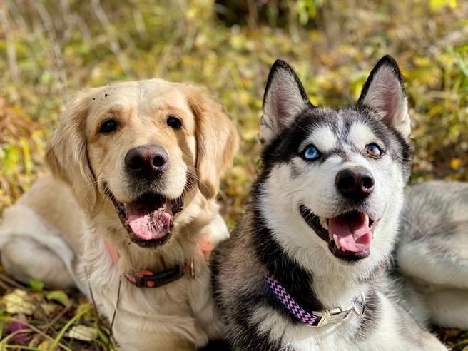 大陸一名飼主發現哈士奇亂尿尿後生氣教訓,豈料黃金獵犬看到卻興奮跳躍,一副幸災樂禍的模樣。(示意圖/達志影像)
