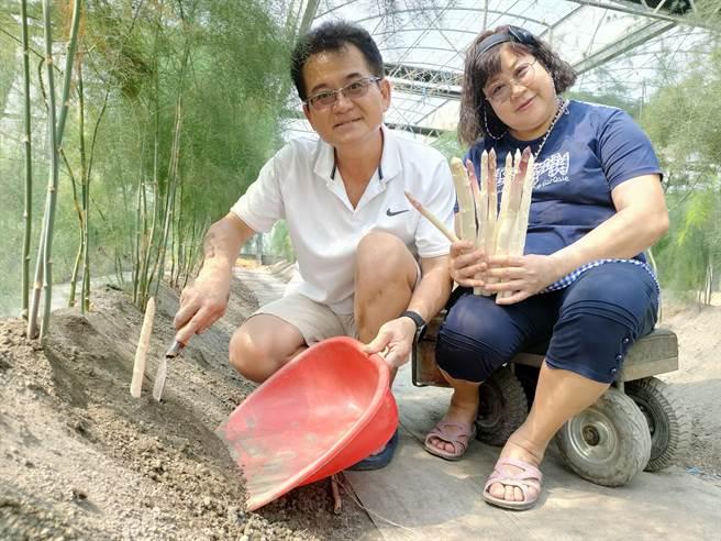 彰化溪州退休夫妻黃勝二及許鈴敏,在自家農地建置幸福農場,花了一年多的時間研究種植,成功種出市面上稀有的「紫玉白蘆筍」。(吳建輝攝)