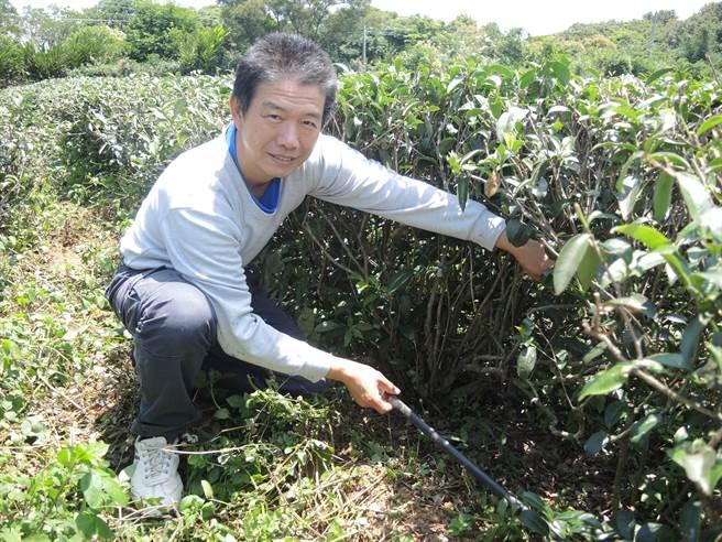 龍潭茶農尹國士使用茶草共生的方式管理茶園,在利用滴灌設備,整體用水可減少5成。(邱立雅攝)