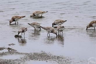 賞鳥趣!蘭陽平原近十年來首見 大濱鷸數量破百