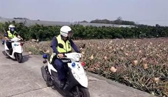 鳳梨價揚偷兒覬覦 農民遭竊千顆熟果