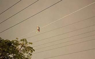 非洲灰鸚鵡飛到電線下不來 梯子來搭救