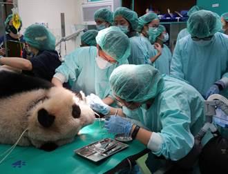 痛!大貓熊圓仔牙冠斷裂 獸醫急做根管治療
