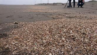 潘忠政:藻礁正受到三接摧殘 沙灘上屍體碎片