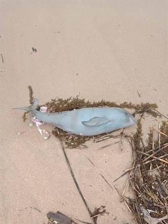 2天第4隻 馬祖南竿復興沙灘再現死亡海豚
