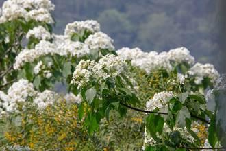 海滄天竺山以花為媒 五月雪點亮兩岸好時節