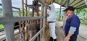 牛結節疹疫苗運抵花蓮 優先替2500頭乳牛接種