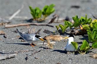 小燕鷗繁殖季將至 台東環團守護育嬰地