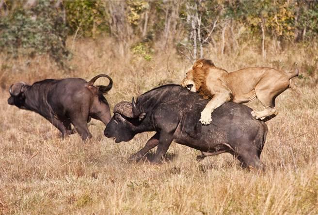 獅子與水牛激戰1小時,雙方最後都精疲力竭,獅子全身是血,狀態比水牛還差,在這一場搏鬥中戰敗。(示意圖/達志影像)