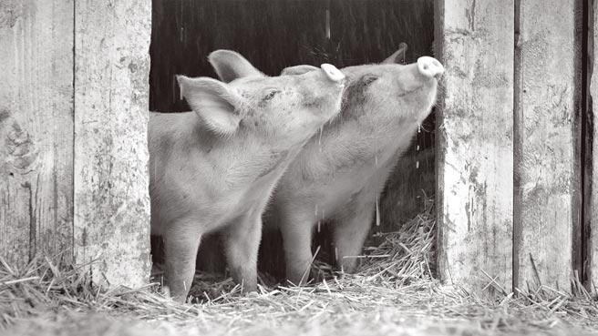 小猪们的未来命运,早就在人类安排之中。(海鹏影业提供)