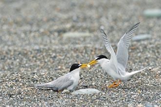 小燕鷗繁殖季 環團守護育嬰地