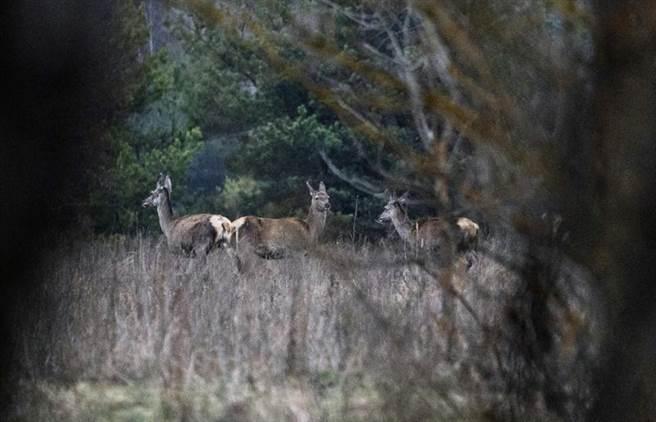 車諾比附近的野生動物。(圖/美聯社)