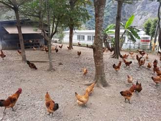 促青壯人口回部落 畜試所輔導原鄉建構土雞產業鏈