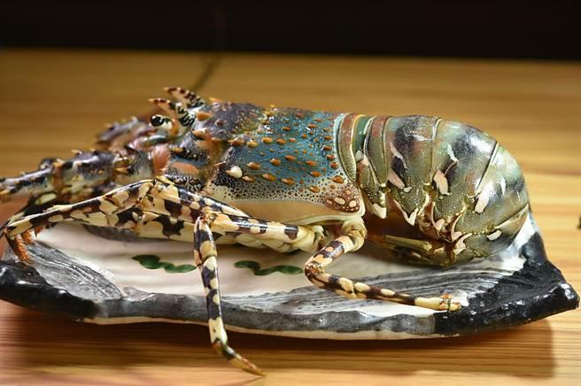 「錦繡龍蝦」又叫「花龍」或「彩龍蝦」,全身青綠色,上半部則為有紫色斑塊點綴的藍殼,節肢上有黑色斑節。(圖/姚舜)